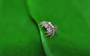 Wallpaper macro, sheet, spider, lil spider