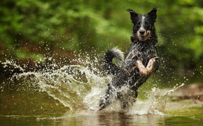 Picture water, squirt, Australian Cattle Dog
