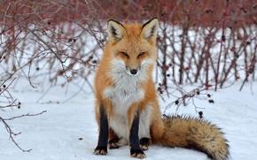 Picture look, snow, Fox, Fox