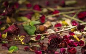 Picture still life, petals, roses