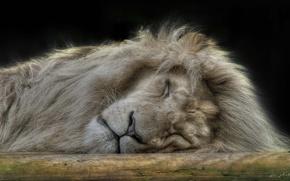 Wallpaper sleep, Leo, the king of beasts
