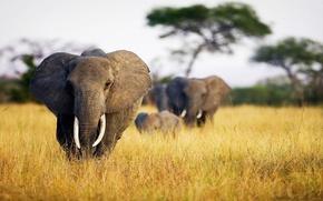 Picture nature, Savannah, photo, animal, Elephants