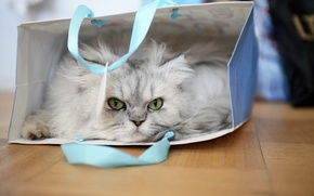 Picture cat, look, package, cat, Fluffy