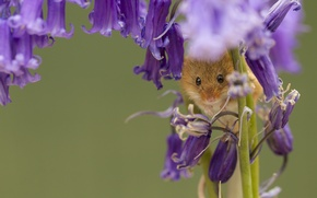 Picture macro, flowers, mouse, bells, Harvest Mouse, The mouse is tiny