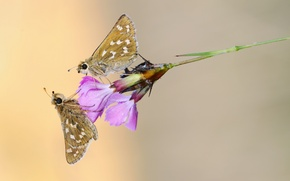 Picture macro, butterfly, flowers, Rosa, a blade of grass