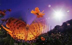 Picture purple, the sky, the sun, flowers, orange, glare, butterfly, wings, the evening, insect, Wallpaper from …