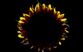 Picture flower, sunflower, petals, silhouette