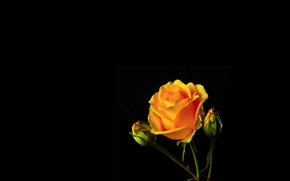 Picture light, background, rose, shadow, petals, Bud