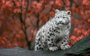 Picture cat, wet, snow leopard, small