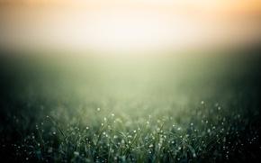 Wallpaper grass, drops, macro, Rosa, heat, background, morning