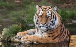 Picture look, water, tiger, predator, wild cat, The Amur tiger