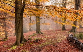 Picture autumn, forest, fog, yellow leaves