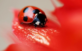 Picture red, flower, nature, leaf, insect, vegetation, ladybird, eetle