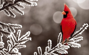 Picture winter, snow, red, bird, tree, spruce, bird, winter, snow, cardinal
