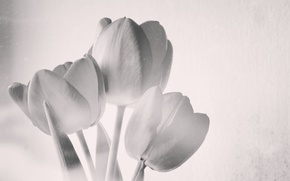 Wallpaper Tulips, first, unusual, spring, black and white