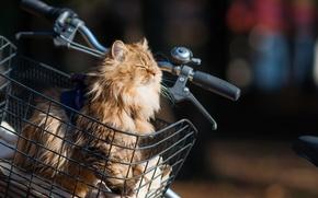 Picture cat, the sun, bike, basket, Daisy, Ben Torode, Benjamin, Torode