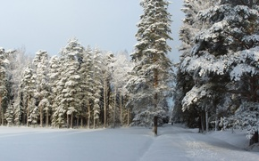 Picture winter, forest, snow, trees, traces, nature, frost, track, Russia, forest, Nature, Russia, trees, winter, snow, ...