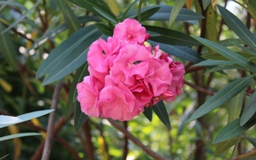 Picture summer, flowers, nature, oleander