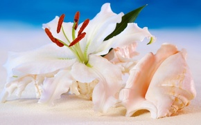 Picture sea, Lily, Flowers, shell