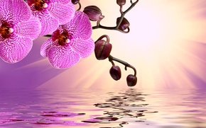 Picture flowers, flowers, orchid, sunshine, pink, reflection, water, Orchid, beautiful