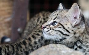 Picture cat, look, cub, cat Geoffroy