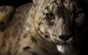 Picture eyes, look, IRBIS, snow leopard, wild cat