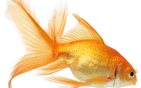 Picture white, background, fish, fish, gold