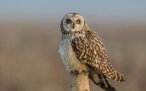 Picture look, bird, Short-eared owl