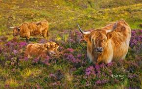 Wallpaper cow, Scotland, Heather, calf, Isle of Skye