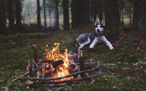 Picture forest, fire, dog, the fire, husky