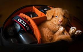 Picture dog, the camera, puppy, case, Nova Scotia duck tolling Retriever