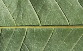 Wallpaper green, leaf, plant, chlorophyll