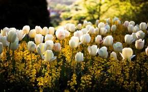 Wallpaper color, the sun, light, flowers, glare, Park, spring, yellow, blur, tulips, white, flowerbed, square