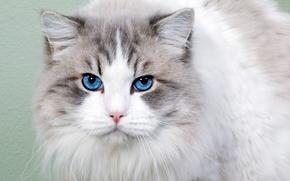 Picture cat, look, portrait