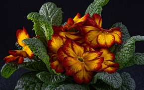 Picture flowers, spring, primrose, yellow-red