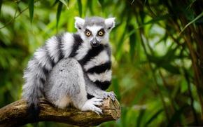 Wallpaper lemur, tail, Katta, look, tree