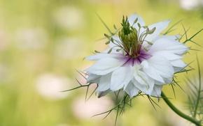Picture macro, petals, Nigella