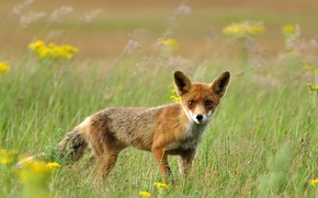 Wallpaper field, grass, Fox, red, Fox
