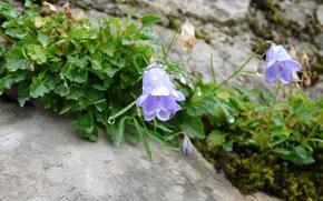 Picture Austria, dewdrop, bluebell