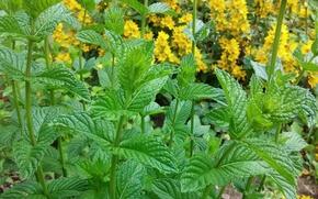 Picture macro, garden, mint