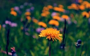 Picture greens, flowers, dandelions, bokeh