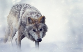 Picture Winter, Look, Wolf, Animals
