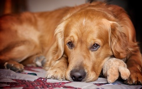 Wallpaper sadness, look, each, dog, Retriever