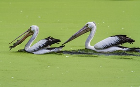 Picture green, food, lake, fish, fishing, feed, algae, hunting, pelicans