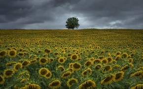 Picture summer, sunflowers, the evening
