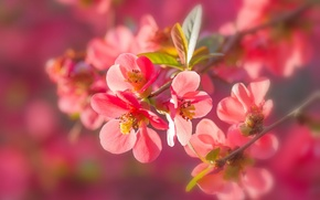 Picture macro, branches, nature, flowering, flowers, quince