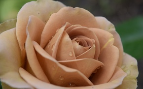 Picture flower, drops, pink, rose, beige