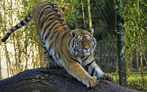Picture cat, tiger, claws, log, Amur