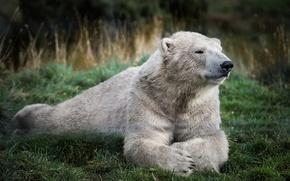 Picture greens, white, grass, stay, bear, bear, polar