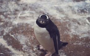 Wallpaper animal, penguin, looks